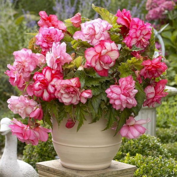 begonia garden decorate exterior ideas