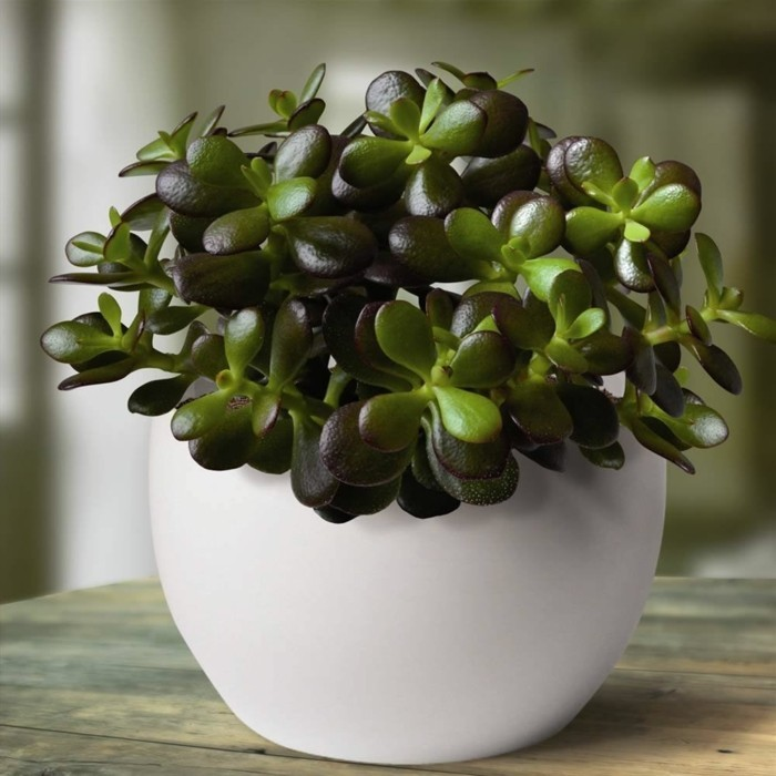 Succulent species decorating Crassula ovata flat
