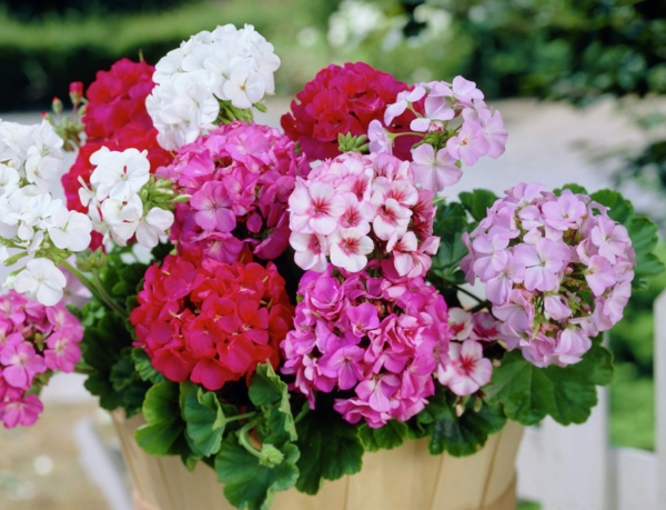 balcony plants easy-care geraniums different colors