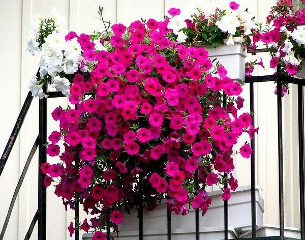 small balcony colored flowers flower box white