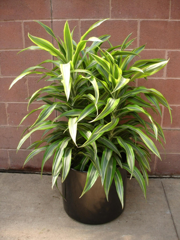 house plants dragon tree beautiful leaves elegant plant pot