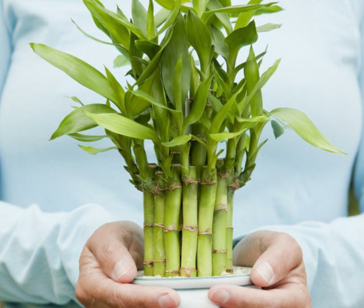 Feng Shui pictures indoor plants bamboo positive energy