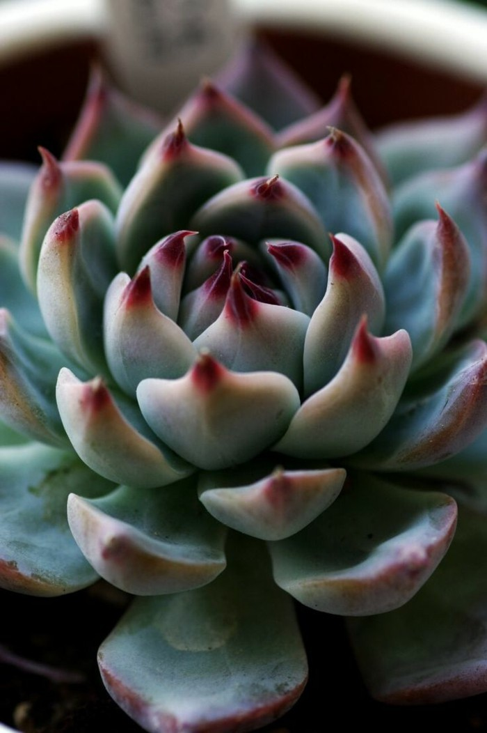 succulent deco ideas species Echeveria