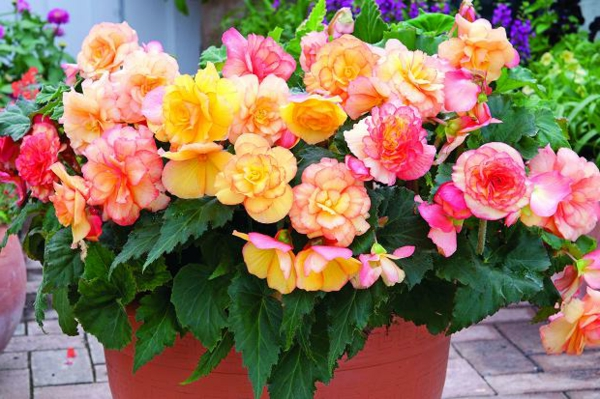 begonia care colorful beautiful fresh deco ideas