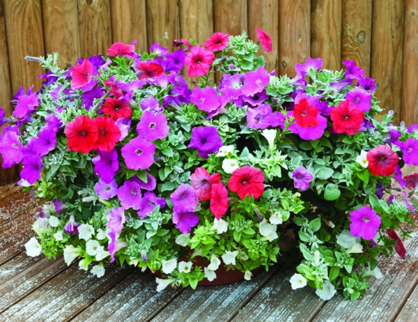 balcony plants petunia different colors