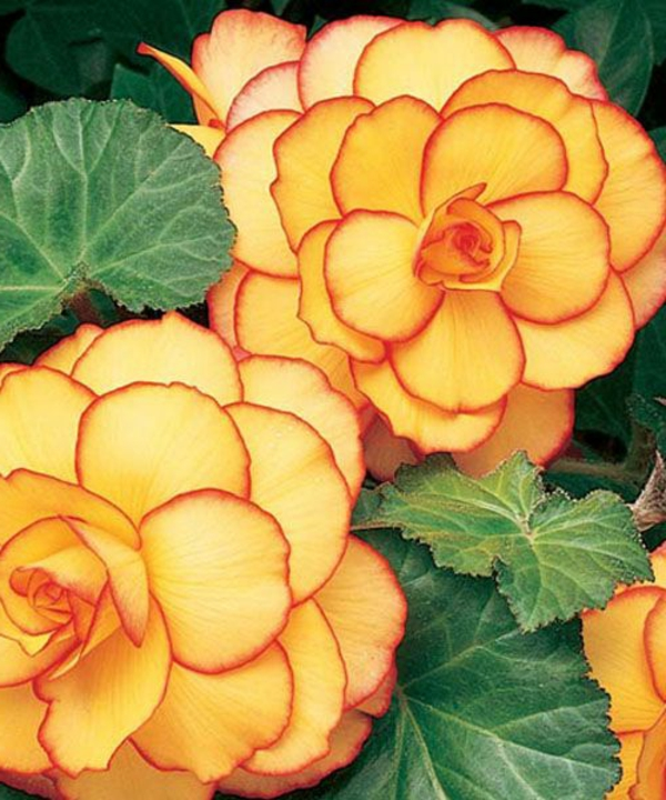 begonia flowers beautiful coloring garden plants