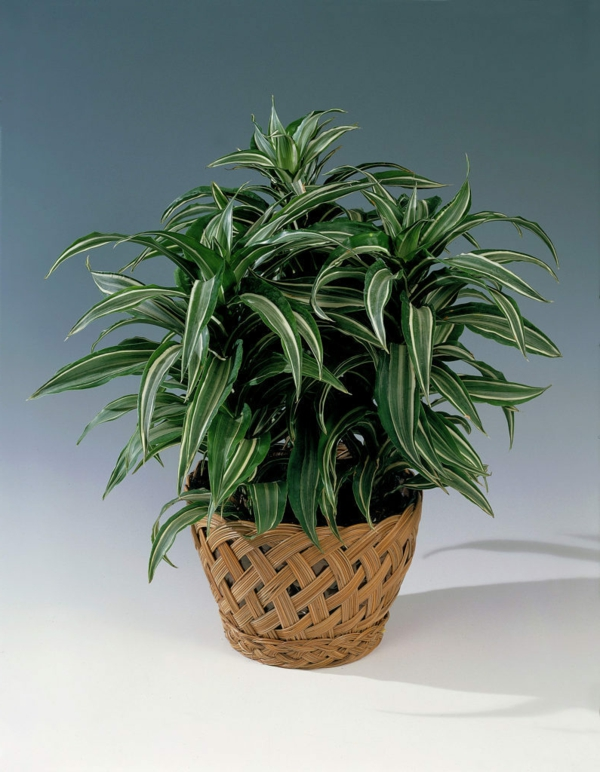 Dracaena deremensis Warneckei dragon tree houseplant