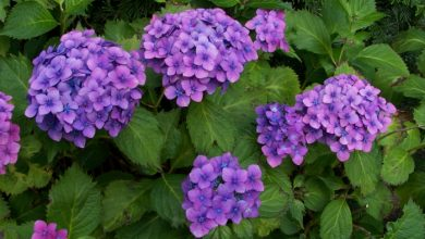 Photo of Suitable hydrangea care for much more flowers