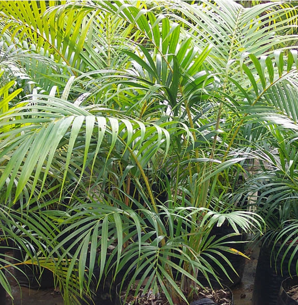 indoor plants easy care pictures potted plants areca areca palm