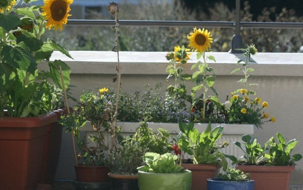 Organic garden with sunflowers on the terrace