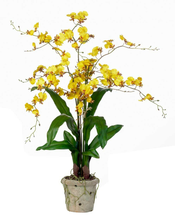 oncidium orchid indoor plants pictures beautiful indoor plants