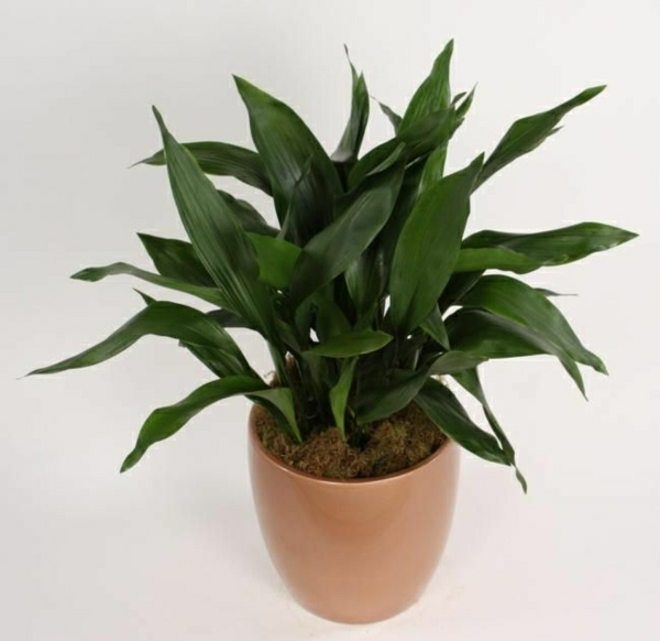 Crop plants easy to care for aspidistra shoemaker palm