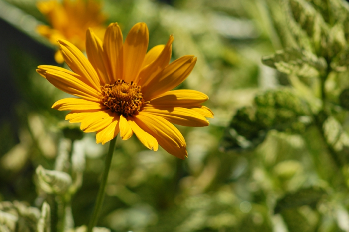 decor ideas garden garden-sun-eye Heliopsis helianthoides