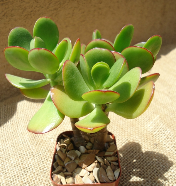 succulent crassula ovata plant home decoration