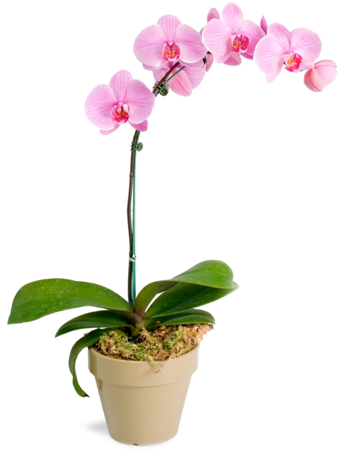 orchid care pink flowers fresh deco