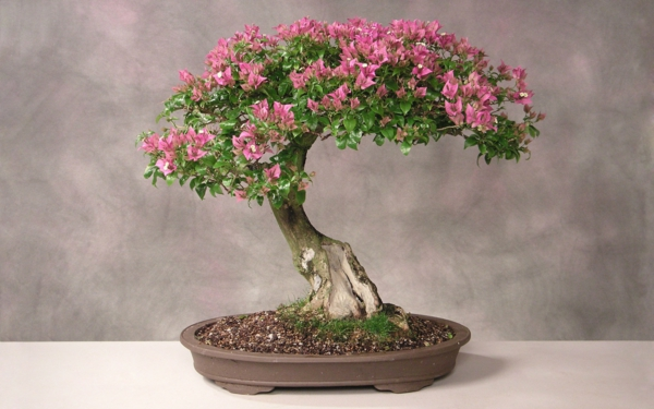 bonsai plant beautiful pink flowers deco ideas