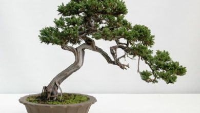 Photo of Bonsai tree – get to know this unusual plant better