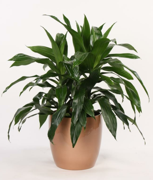 indoor plants dragon tree light brown flowerpot plants