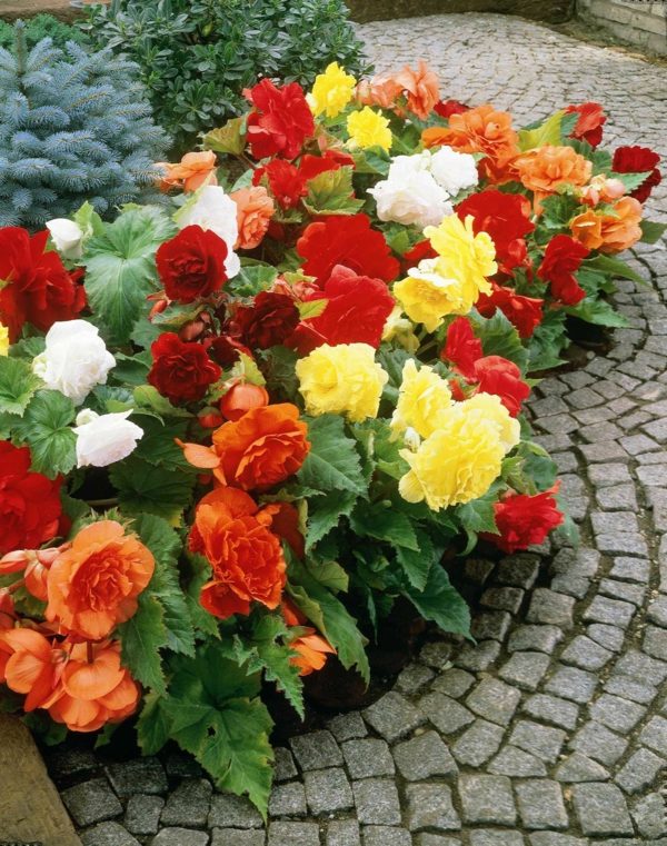 begonia care garden plants landscaping