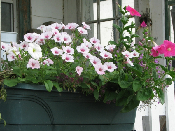 balcony plants petunia plants easy to care for